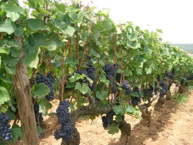 Pinot_noir_-_Bourgogne_(Santenay).jpg